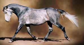 Grey azteca horse